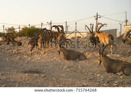The herd of Nubian ibexes in kibbutz Sde Boker. Negev desert. Israel #715764268