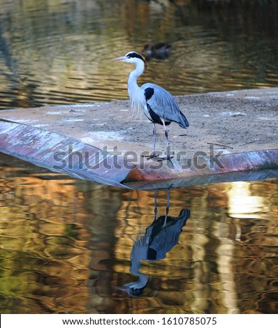 The Heron is an aquatic birds with long legs, long neck, and long slender beak. Herons are carnivores. They mainly eat fish.