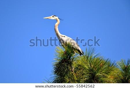 The Heron on Pine Tree. - stock photo