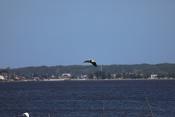The heron which flies in the sea