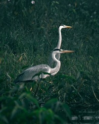 The herons are long-legged freshwater and coastal birds and are essentially non swimming water birds that feed on the margins of lakes, rivers, swamps, ponds, and the sea.