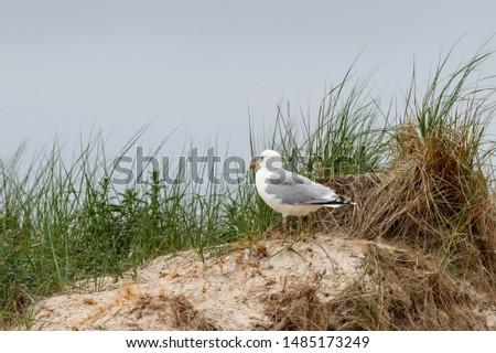 The Herring Gull (larus argentatus) on the german Island Amrum (Oomram), Germany