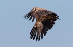 The Himalayan vulture or Himalayan griffon vulture (Gyps himalayensis) in Haridwar, India