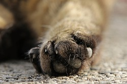 The hind paw of a brown and black cat with claws
