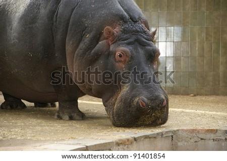 The hippopotamus (Hippopotamus amphibius), Barcelona Zoo