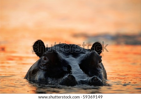The hippopotamus in the light of the sunset sun sits in a bog.