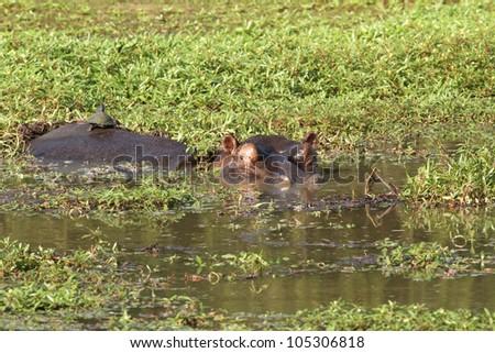 The hippopotamus. On the bright midday sun hippopotamus in water