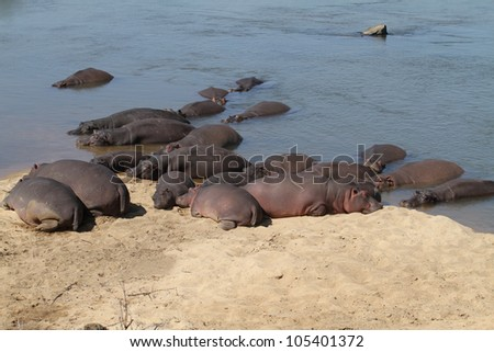 The hippopotamus. On the bright midday sun hippopotamus in water - stock photo