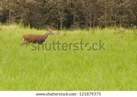 The hog deer in wild, Thailand