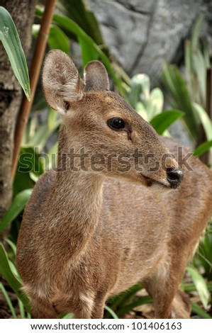 The Hog Deer is a small deer whose habitat ranges from Pakistan, through northern India, to mainland southeast Asia.