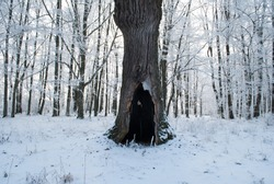 The hollow in the old tree, winter forest, a mystical place