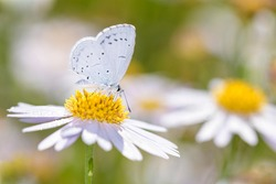 The holly blue butterfly - Celastrina argiolus - sucks with its trunk nectar from a marguerite blossom - Leucanthemum vulgare