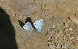 The holly blue (Celastrina argiolus) is a butterfly that belongs to the lycaenids or blues family and is native to Eurasia and North America. The holly blue has pale silver-blue wings.