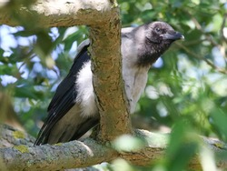 The hooded crow (Corvus cornix) (also called hoodie[2]) is a Eurasian bird species in the Corvus genus. Widely distributed, it is also known locally as Scotch crow and Danish crow.