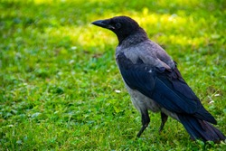 The Hooded crow on a green grass