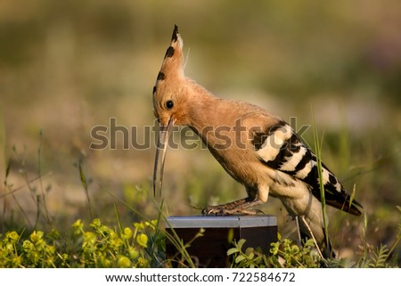 The hoopoe is on the dynamics and examines it #722584672