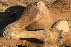 The hooves of a dead camel. Close-up. Dead camel in the steppe. Fragments of the corpse of a large animal. Wool on the corpse. Green flies on the corpse of an animal. Dry steppe grass. Camel remains