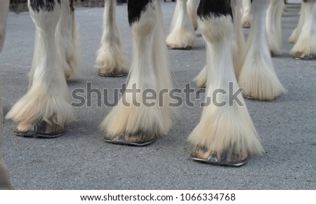 The Hooves of the world famos Budweiser Clydesdales ready for a parade in downtown Historic New Bern,North Carolina