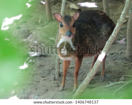 The horn or mouse deer is a common name for a group of mammals (mammals) with even nails belonging to the genus Tragulus #1406748137