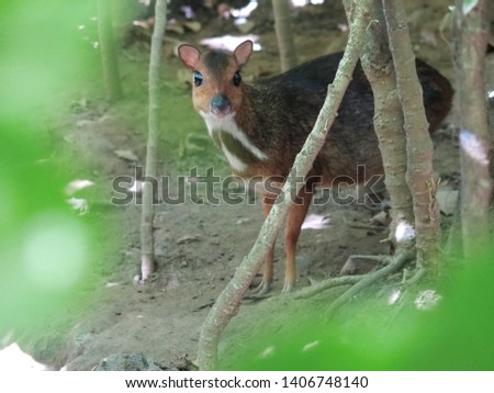 The horn or mouse deer is a common name for a group of mammals (mammals) with even nails belonging to the genus Tragulus #1406748140