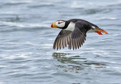 The horned puffin is an auk found in the North Pacific Ocean, including the coasts of Alaska, Siberia and British Columbia. It is a pelagic seabird that feeds primarily by diving for fish. It nests in
