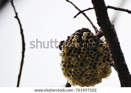 The hornet nest on branch of the tree in tropical zone.