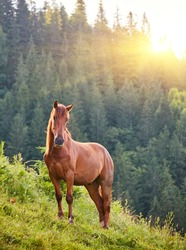 The horse grazes in a mountain pasture where, after rain, green pastures in the alpine zone in the Carpathians are covered with a sea of fog.