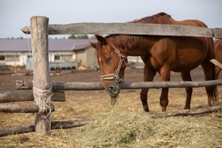 The horse is grazing. Horse in the paddock eating hay. Domestic horses.
