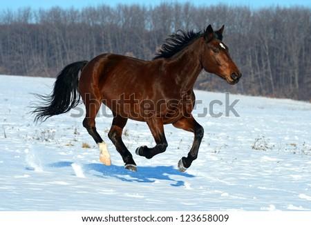 The horse runs gallop on a snowy field.
