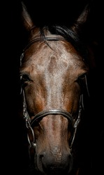 The horse's head is full face close-up. A horse with a bridle on a dark background. A sad horse in the stall. Thoroughbred English horse.