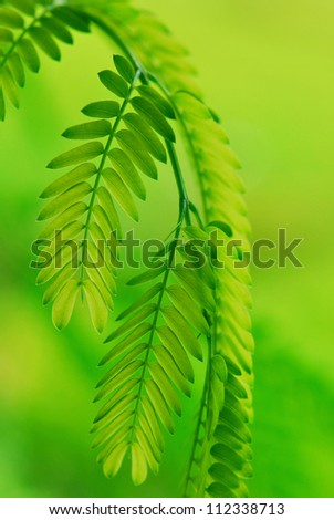 the horse tamarind - stock photo
