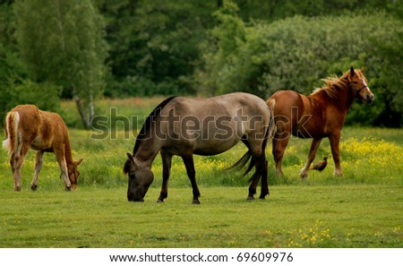 The horses with pheasant on pasture