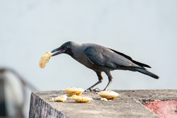 The house crow, also known as the Indian, greynecked, Ceylon or Colombo crow, is a common bird of the crow family that is of Asian origin