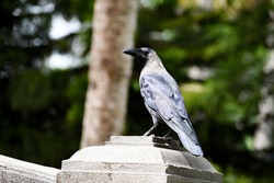 The house crow also known as the Indian greynecked Ceylon or Colombo crow sitting and looking at the camera