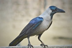 The House Crow or The Indian Grey-necked