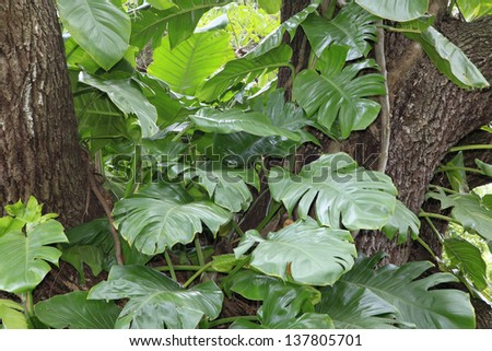 The house plant Pothos Aureaus growing wild on a Live Oak tree as mature Monstera in Florida