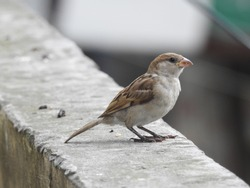 The house sparrow is a bird of the sparrow family Passeridae, found in most parts of the world. It is a small bird that has a typical length of 16 cm and a mass of 24–39.5 g. Females and young birds a