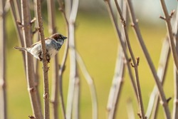 The house sparrow (Passer domesticus) is a bird of the sparrow family Passeridae, found in most parts of the world. It is a small bird that has a typical length of 16 cm.