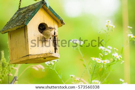 The House Wren.  A tiny house wren pauses outside her home.