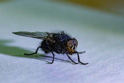 The housefly (Musca domestica). It is believed to have evolved in the Cenozoic era, possibly in the Middle East, and has spread all over the world as a commensal of humans.