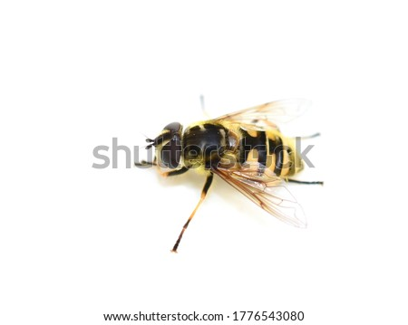 The hoverfly Myathropa florea mimicing wasp isolated on white background Stockfoto ©