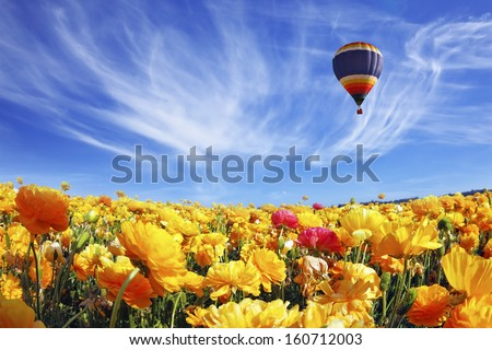 The huge field of white and orange buttercups (Ranunculus asiaticus). Beautiful spring weather, beautiful big balloon flies over the field. The picture was taken Fisheye lens