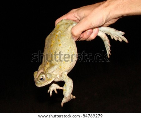 The huge Sonoran Desert Toad being held by a man, the largest toad in North America