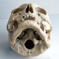 The human skull. View from below. Human anatomy.