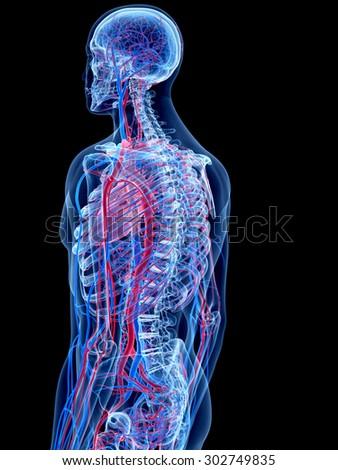the human vascular system - | EZ Canvas