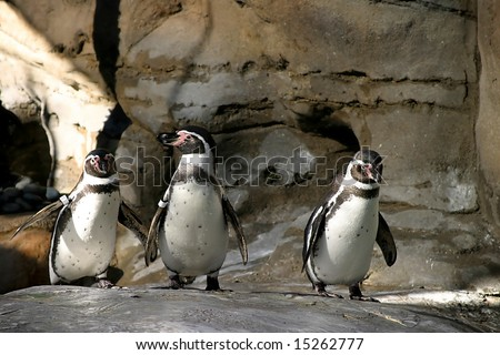 The Humboldt Penguins is a South American penguin, breeding in coastal Peru and Chile.