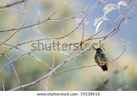 The humming-bird in branches./ Costa Rica