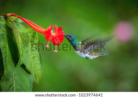 The Hummingbird is hovering and drinking the nectar from the beautiful flower in the rain forest. Flying White-necked Jacobin, Florisuga mellivora mellivora with nice colorful background.
