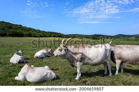 The Hungarian Grey (Bos primigenius taurus hungaricus), Hungarian Steppe Cattle in Tihany, Hungary Stock fotó ©