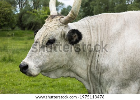 The Hungarian Grey (Hungarian: Magyar Szürke), also known as Hungarian Steppe Cattle, is an ancient breed of domestic beef cattle indigenous to Hungary. Feeding on meadow in southern Slovakia. Stock fotó ©